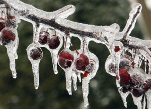 crabapple_tree_ice